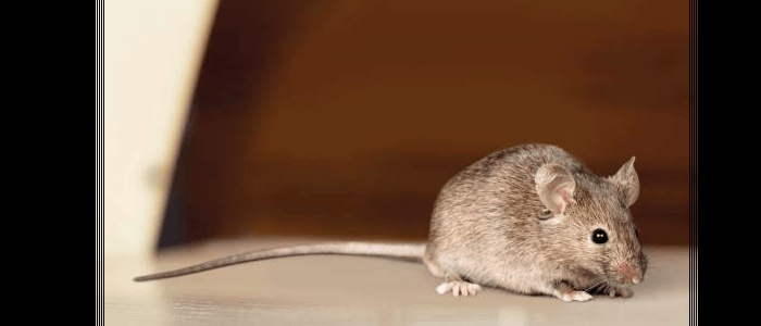Rodent Control Manly