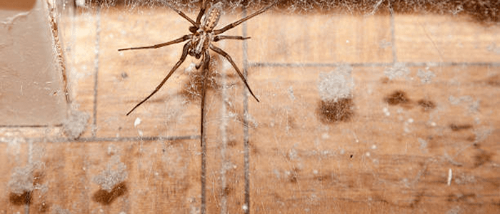 Spider Control Manly