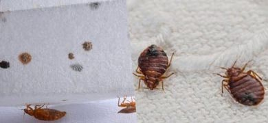 Bed Bug Control Manly