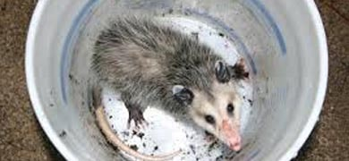 Possum Removal Manly